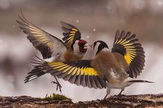 European Goldfinch pair 'smooching'
