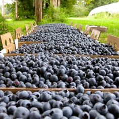 vermont blueberries - Google Search