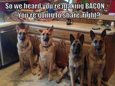 Love German shepherds! #Germanshepherd #bacon #funny dogs. If you love German Shepherds then check out this Facebook page dedicated to them https://www.facebook.com/GermanShepherdDogFans