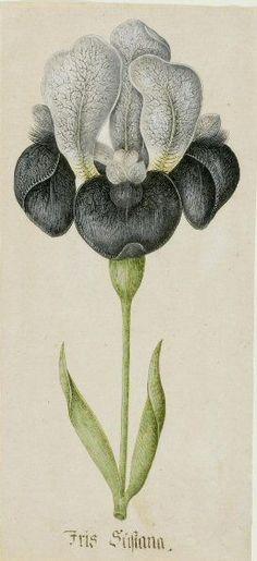 Iris susiana, German School, ca.1700. Watercolour with gum arabic on paper