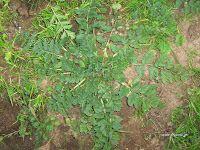 Καλόγερος-Erodium cicutarium Gardens, Herbs, Plants, Outdoor Gardens, Herb, Plant, Garden, House Gardens, Planets