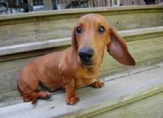 Miniature Dachshund Puppy. Sweetie!