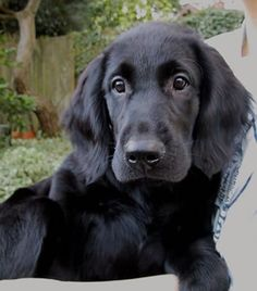 Flat coated retriever - I want one.  I will have a girly friend for Toby soon and this is her!