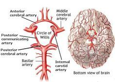 The circle of Willis, also known as circulus arteriosus cerebri, located at the base of the brain is composed of the PCA, posterior communicating artery, MCA, ACA, and the anterior communicating artery. The circle is made up of a group of interconnected arteries and gets it's name from Thomas Willis (1621-1675). Willis wrote Cerebri Anatome, one of his most famous books, in 1664. This was where he described the circle of arteries and received his eponym.