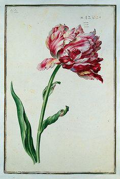 015-tulipan 15-Karlsruher Tulpenbuch - Cod. KS Nische C 13- Badische LandesBibliotheK
