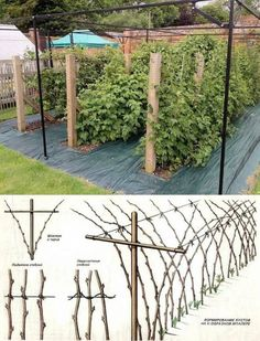 Tying up to support spreading branches. Как получить небывалый урожай малины?