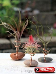 Properly Water Air Plants How to care for Air Plants. Air plants don't need soil to grow.but they need humid air.How to care for Air Plants. Air plants don't need soil to grow.but they need humid air. Garden Plants, Indoor Plants, House Plants, Garden Trellis, Hanging Plants, Fruit Garden, Cactus Plants, Mini Plants, Harvest Garden