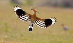 The Hoopoe has broad and rounded wings that make it capable of strong flight.