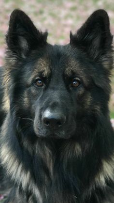 Long Coat German Shepherd, German Shepherd Puppies, German Shepherds, I Love Dogs, Cute Dogs, Berger Malinois, Schaefer, Gsd Puppies, Four Legged