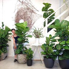 dieffenbachia ist die zimmerpflanze der monats juli lufterfrischer das zuhause und pflanze. Black Bedroom Furniture Sets. Home Design Ideas