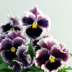 Bolero Lilac Blue Picotee Pansy | A