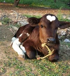 My calf has a perfect shaped heart on it's head.
