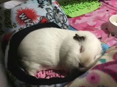 Guinea pig zone Sleeping angel