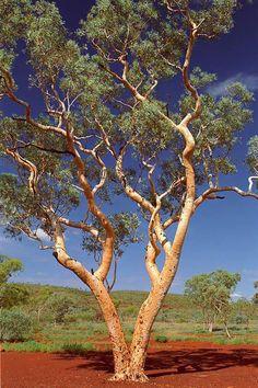 Beautiful tree western australia 46 Ideas for 2019 Australia Landscape, Australian Plants, Australian Artists, Eucalyptus Tree, Unique Trees, Nature Tree, Tree Forest, Western Australia, Queensland Australia