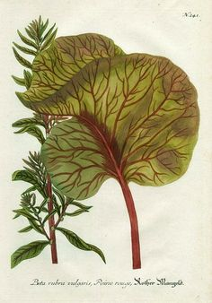 Red beet, or Beetroot plant, Beta rubra vulgaris, Poiree rouge, by Johann Weinmann, ca.1740. Copper engraving, printed in colour