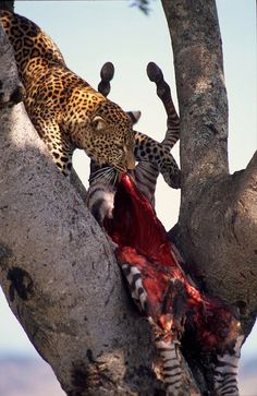 A leopard drags a zebra carcass up a tree