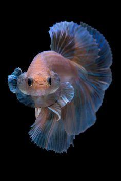 betta | Betta fish on black background. | da nokkaew | Flickr