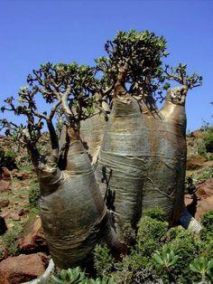 Ficus Tree (fig) on the island of Socotra