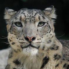Snow leopard. So very beautiful.