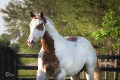 Chestnut paint horse