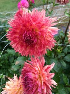 Dahlia 'Myrtle's Folly'. Visit pin to see more! ♥