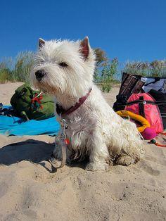 Westie beach day!