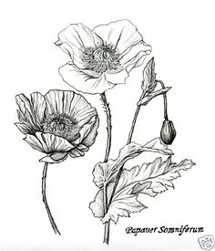 Pencil+Flower+Drawings+Of+Poppy+And+Ginger+Nutmeg+Plants