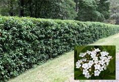 Our front yard fence! Viburnum tinus. PLANTS IN VALLADOLID | PHYTO GARDENS