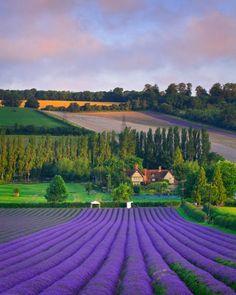 "bonitavista: "" Lavender Field, Eynsford, England photo via elenor """