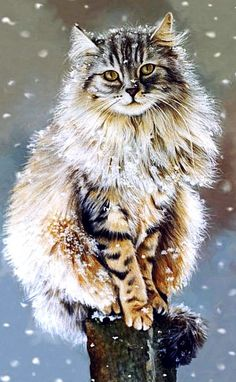 A maine coon in winter?