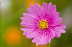 Single cosmos flower - Close up of a single pink cosmos flower, Cosmos bipinnatus