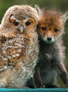 Unlikely Animal Friends A tawny owl and fox cub form unlikely duo! An owl chick and fox cub have built up an unlikely rapport after each was rescued from attacks by predatory birds. Baby Owls, Baby Animals, Funny Animals, Cute Animals, Fox Baby, Nature Animals, Especie Animal, Amor Animal, Animal Care