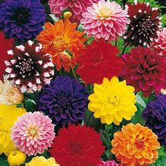 Decorative Dahlia Mix  A Rainbow of Blooms From Summer to Frost  Big, 4-in. double blooms in an array of vibrant colors. Some even sport bicolor petals! Flowers continually all summer and well into fall. Grows 2-3 ft. tall with a 20- to 24-in. spread.  Zones: 9-10; teder tuber Height: 2-3' Shade Requirement: Partial shade to full sun - http://www.gurneys.com/product/decorative_dahlia_mixture#sthash.ayJYyeG4.dpuf