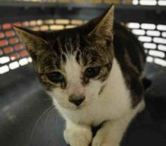 09/02/2016 SUPER URGENT SICK KITTEN ALERT *** TO BE DESTROYED *** ONLY FOUR MONTHS OLD - HELP RESCUE PRETTYBELL, a frightened stray, nervous of humans, tries to flee, needs to see a vet for a medical and treatment for an eye infection. She is a pretty kitty.
