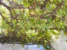 Parras. Tenemos dos tipos de uvas: la uva pinta (azul) y la uva blanca. Ambas se usan para la mesa pero puedes hacer con ellas gelatinas, dulces y jugos o vinos. (Es verano y ella nos regala su sombra  que es todo un placer!!)