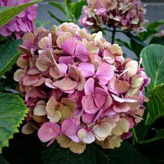 Hydrangea Macrophylla, Food Decoration, Hydrangeas, French Vintage, Beautiful Flowers, Succulents, Shabby, Plants, Life