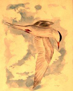 common tern, watercolor, 1981.