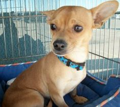 Hugo is an adoptable Chihuahua Dog in Dodge City, KS. Hugo is a cute little guy that is about one year of age. He is crate trained, doing well on house training and gets along well with other dogs. We...
