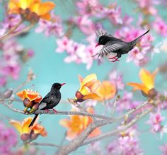 Stunning black birds against beautiful tree with pink blossoms in Taiwan (Black Bulbul).