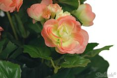 types of peach begonias | Close-up detail of the Artificial Begonia Bush, Peach