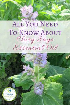 Learn about the Clary sage essential oil benefits and see how a few drops of clary sage oil could help support hormonal balance. Essential Oil Safety, Clary Sage Essential Oil, Essential Oil Uses, Natural Essential Oils, Benefits Of Coconut Oil, Oil Benefits, Young Living Oils, Young Living Essential Oils, Doterra