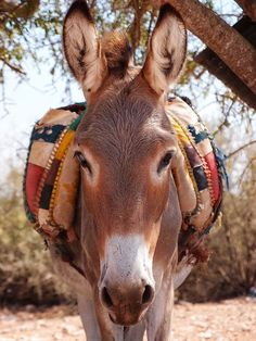 Moroccan Donkey Visit our page here: http://what-do-animals-eat.com/donkeys/