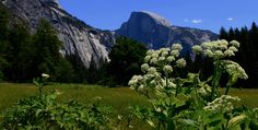 Summer flowers in the valley... Half Dome photo bomb. https://www.facebook.com/wendy.searcy