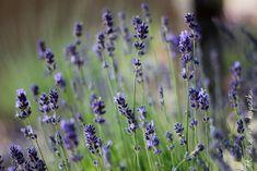 Image: levander by AndrasZsolt on DeviantArt Dandelion, Food And Drink, Fruit, Drinks, Health, Garden, Nature, Flowers, Plants