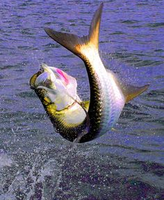 """love tarpon..I'm  Mounting the 46"""" one I caught in Key West in my office this week"""