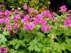 Geranium macrorrhizum  'Bevan's Variety' 40cm En härlig marktäckare som breder ut sig snabbt med hjälp av utlöpare. De har rundat växtsätt och aromatiskt bladverk som får fina höstfärger. Trivs i allt från sol till skugga. 'Bevan's Variety' växer starkare och har tydligare färg än ursprungssorten. Orkar kväva andra ogräs om du rensat vid etableringen. Frisk, härdig till zon 7.