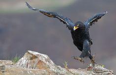 verreaux's (black) eagle        (photo by ettienne van niekerk)