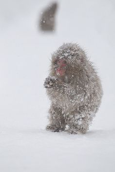 Snow monkey by Masashi Mochida awwww so cute and sad looking! Baby Animals, Cute Animals, Animal Babies, Wild Animals, In The Zoo, Creature Feature, Cute Friends, Primates, Snow Monkeys