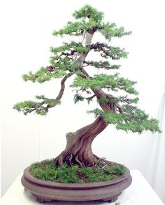 Bonsai Center Sopelana: Un par de dias pinchándome.