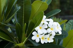 Beautiful, fragrant and evocative – Dok Champa, also known as frangipani or plumeria, is the national flower of Laos. The trees are considered sacred and symbolizes joy in life and sincerity.